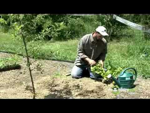 Organic Gardening – Transplanting Seedlings