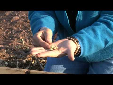 How to grow soybeans-Organic Gardening: