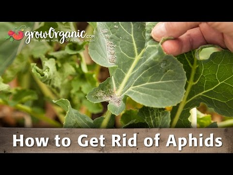 How to Get Rid of Aphids Organically