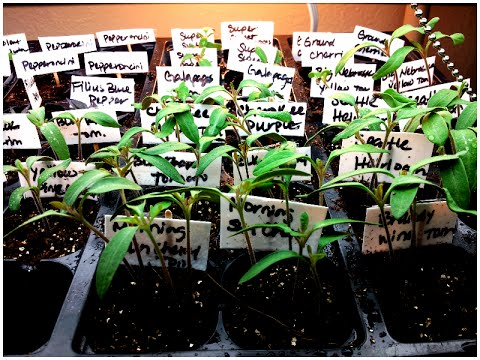 Indoor Seedlings Update: Growing from Seeds Organic Gardening