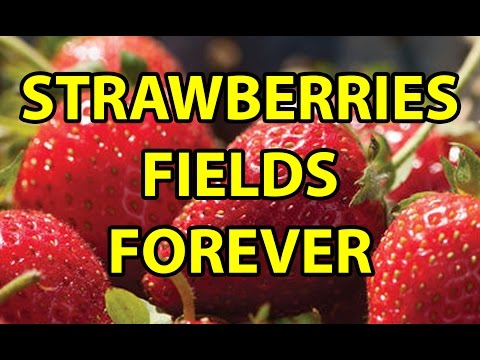 How to Plant & Grow Healthy Organic Strawberries for food from Plugs/Roots No Till Raised Bed Garden