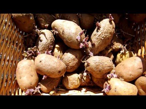 Planting Potatoes (Newfoundland Organic Gardening)