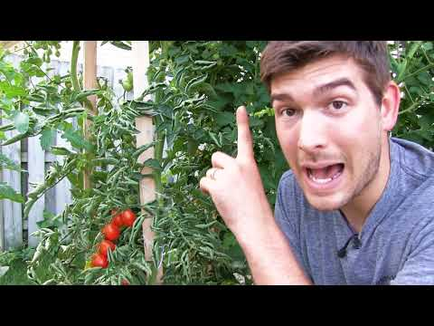 Our 6 Step Secret to Growing 10+ FOOT Tall Tomatoes ….Organically!