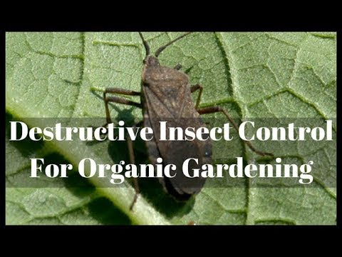 Podcast – Destructive Insect Control For Organic Gardening