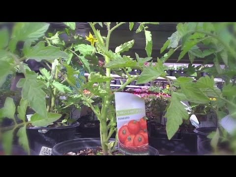 How to Plant a Tomato Starter : Organic Gardening for Real