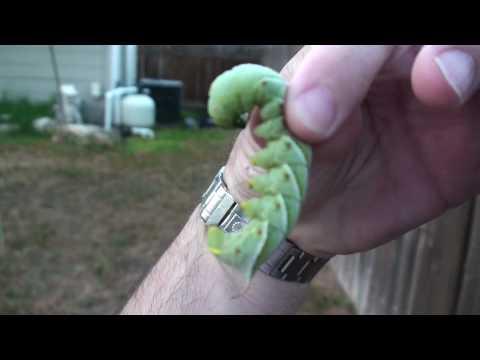 Organic Gardening Pesticide Alternatives Tomato Horn Worm