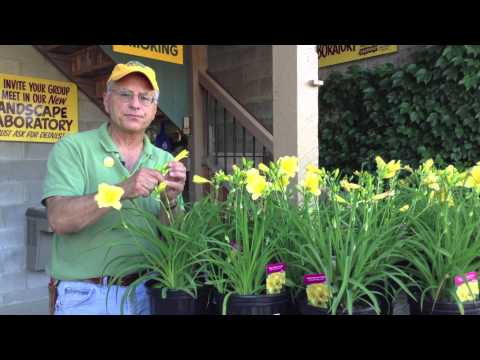 Landscaping Ideas – Daylilies