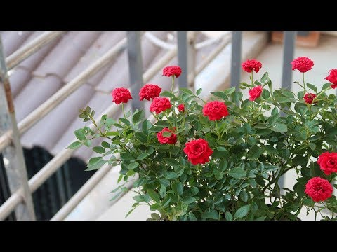 How to grow roses for beginners | Garden ideas