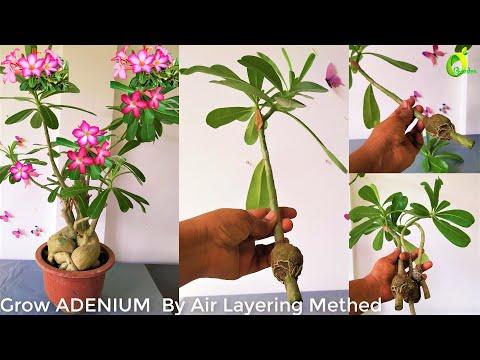 Grow Adenium By Air Layering Method//Air Layering/Adenium propagation/ORGANIC GARDEN